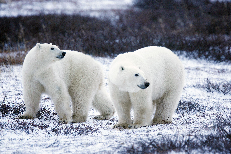 Polar Bear Pair by Gary Kramer / CC BY SA